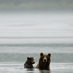 Kodiak terre d'ours