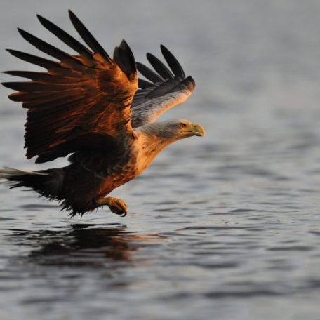 Pygargue à queue blanche - Norvège