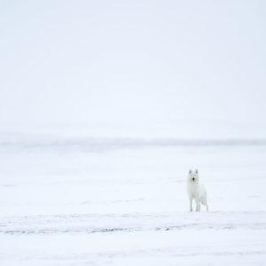 Umingmak gardien de l'arctique
