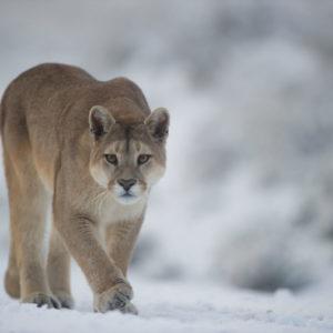 Puma des Andes