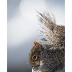 Carte écureuil profil