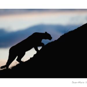Carte puma silhouette